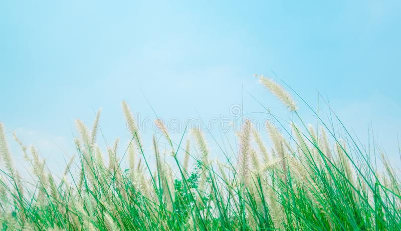 Blown white grass field and green leave by the wind. Soft focus of blown white grass field and green leave by the wind abstract pattern with blue sky color and royalty free stock photo
