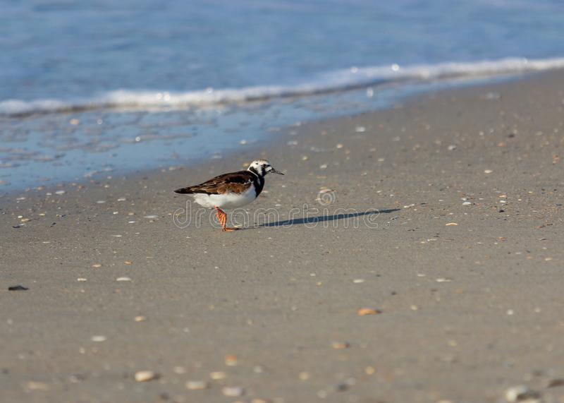 Blozend Turnstone die Vogels waadt royalty-vrije stock foto