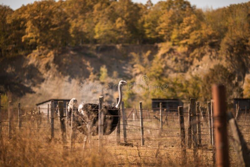 Blsck osriches na starym gospodarstwie rolnym Jesień czas obraz stock