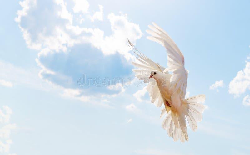 Blu. Flying pigeon, wedding dove in flight stock photography