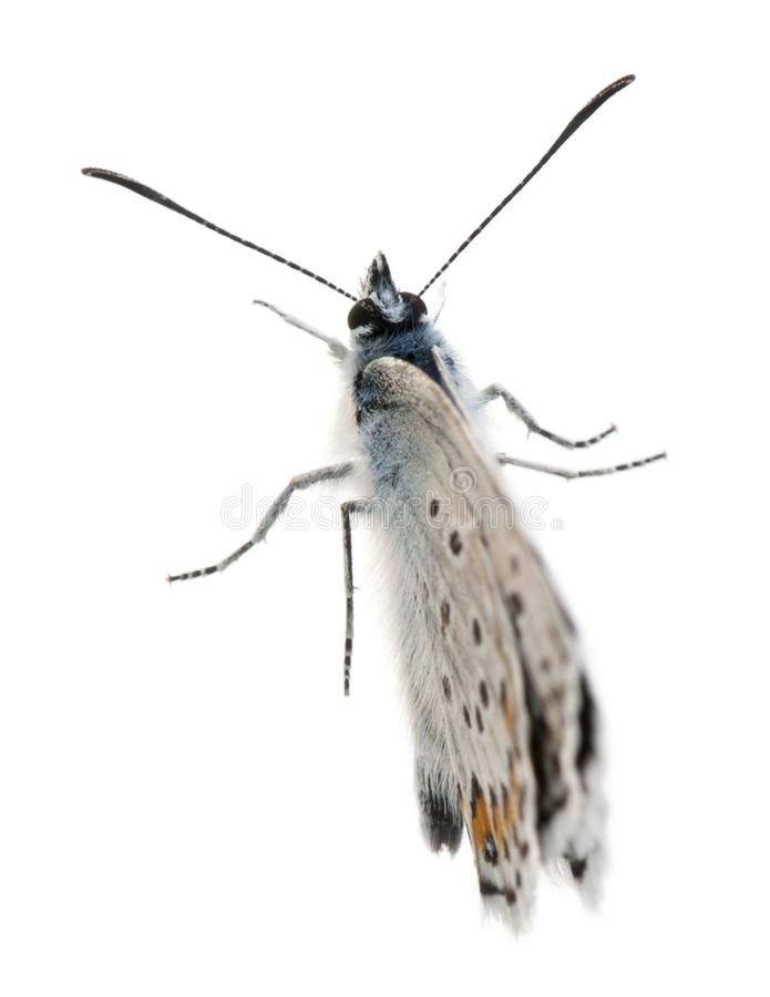 blu Argento-fissato, Plebejus Argus - specie di lepidotteri, chiamate anche farfalla di Hairstreak immagine stock