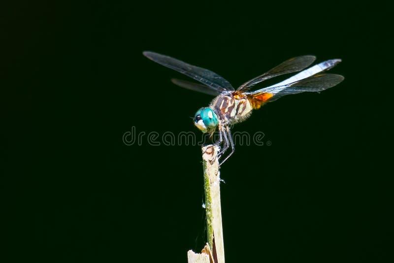 Blu Dasher della libellula immagine stock libera da diritti