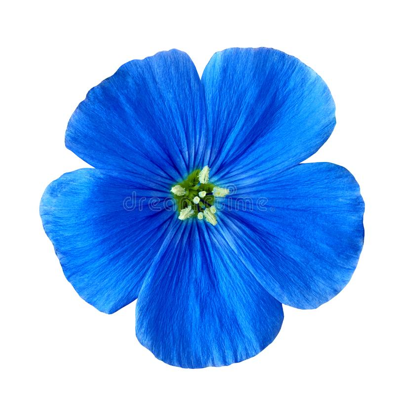 Blu del fiore isolato su fondo bianco Fine del germoglio di fiore in su fotografie stock