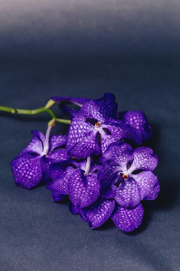 blu dell'orchidea su fondo grigio semplice fotografia stock libera da diritti