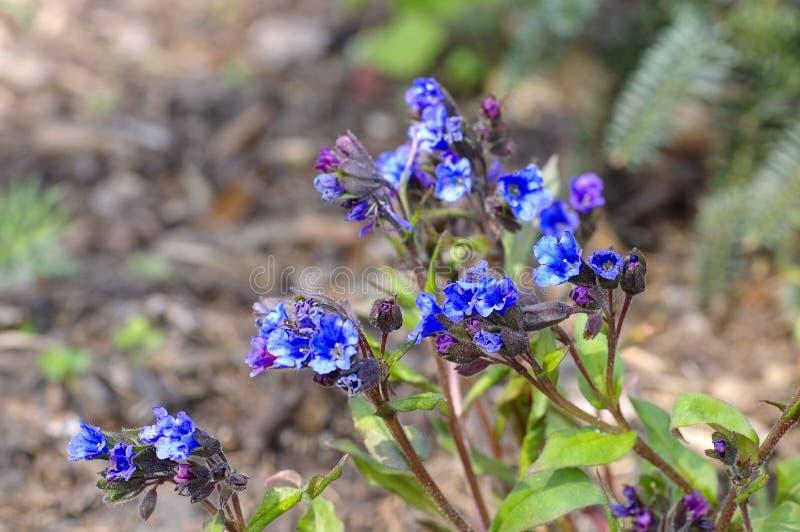 Blu Ensign di specie di dacica di Pulmonaria immagine stock