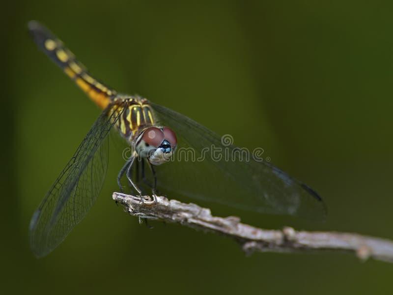 Blu femminile Dasher della libellula immagine stock libera da diritti