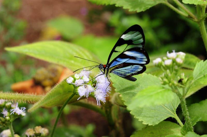 A blu-ha tinto la farfalla di Glasswinged è conosciuto per le sue ali trasparenti fotografia stock