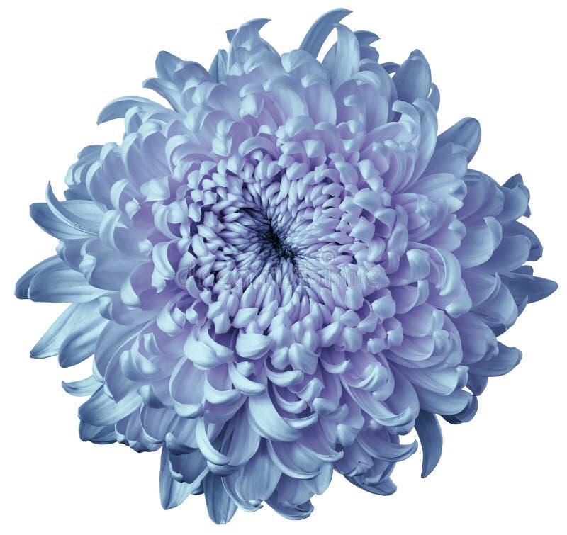 Blu luminoso - crisantemo rosa del fiore isolato su fondo bianco Per il disegno Fuoco del pulitore closeup immagine stock