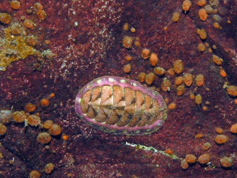 Blu-Riga Chiton (undocaerulea di Tonicella) immagini stock libere da diritti