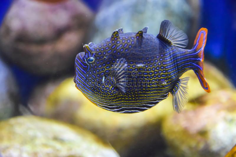 Blu scuro esotico del pesce barrato con una coda arancio sotto acqua in un acquario fotografia stock libera da diritti