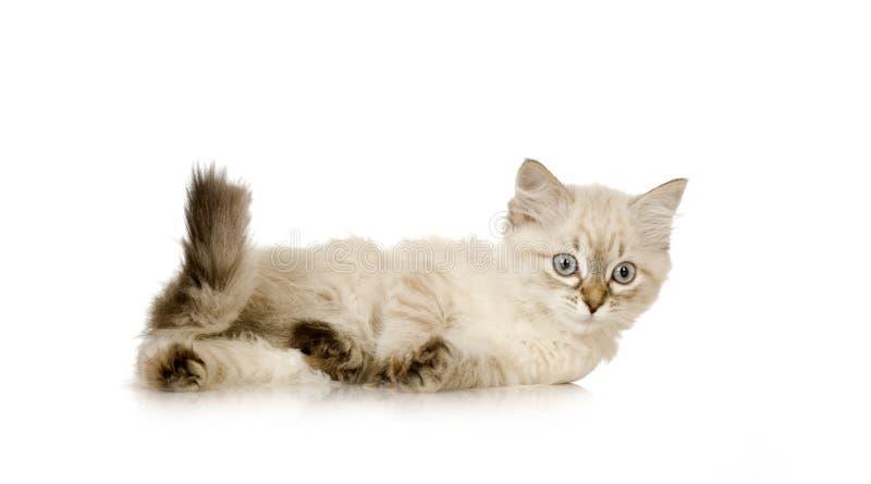 Blu-tabby-point Birman kitten royalty free stock photo