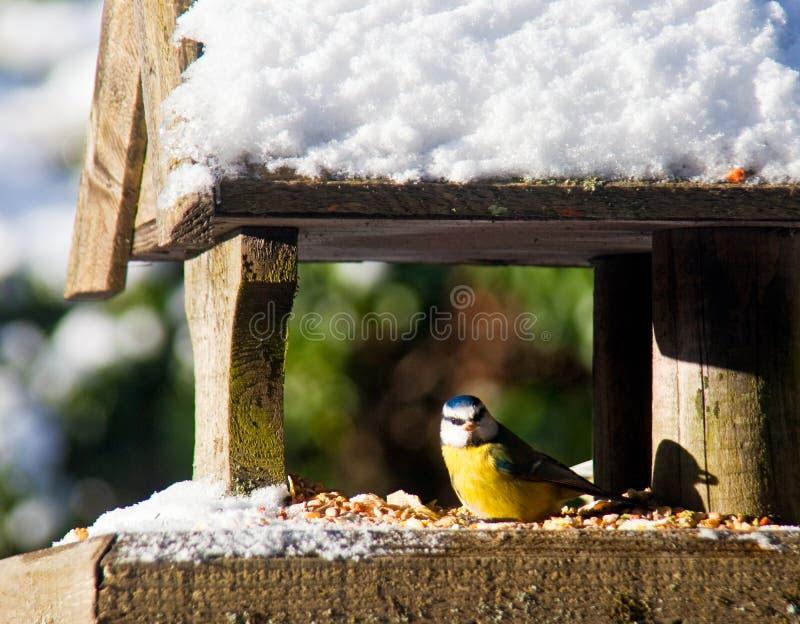 Blu-Tit ad un alimentatore nevoso dell'uccello fotografia stock