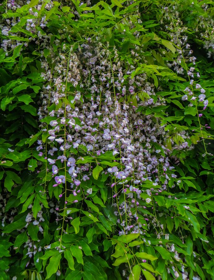 Blu Wisteria flowers. Spring in Crediton, England, 2018. Blu Wisteria flowers. Spring in Crediton, England 2018 royalty free stock photos