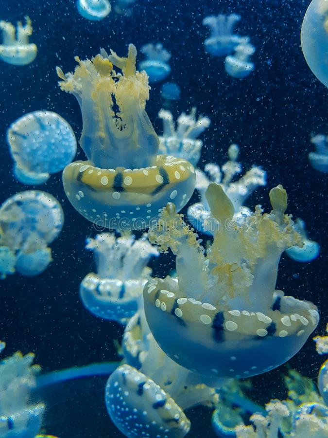 Blubber jellyfish. In deep water royalty free stock images