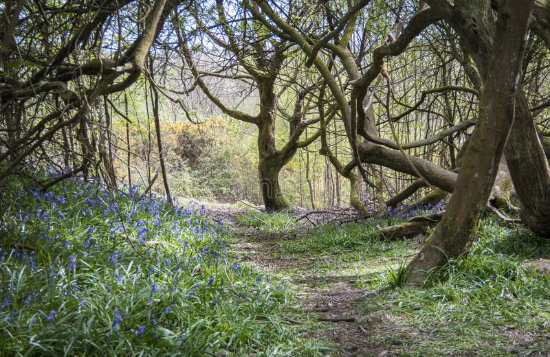 Blubell Woods in Sussex, UK royalty free stock photos