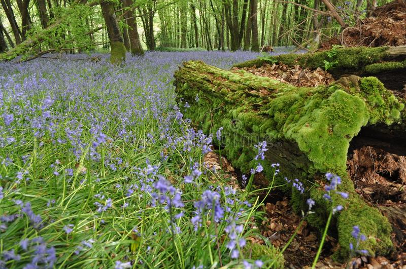 Bluebells in a woodland with a mossy tree trunk royalty free stock photo