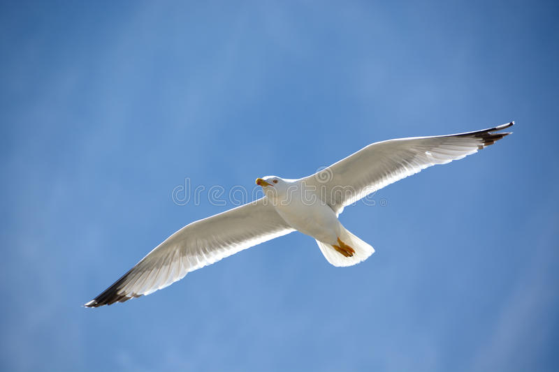 The blue above a seagull stock photo