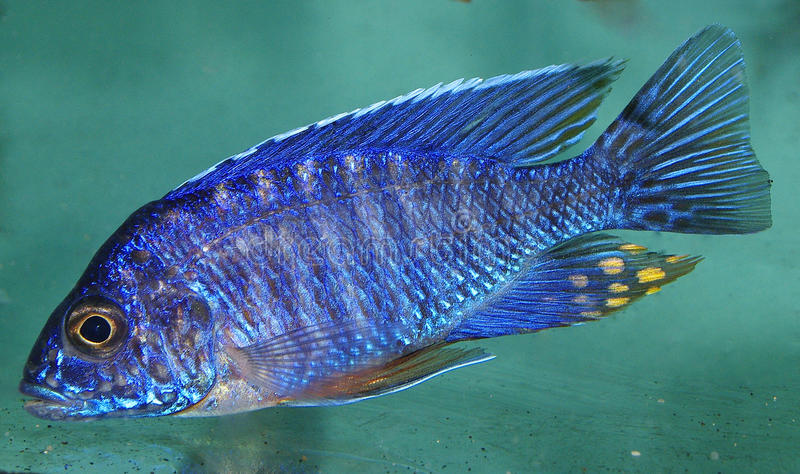 Download Blue African Cichlid, Lake Malawi Stock Photo - Image: 22268364