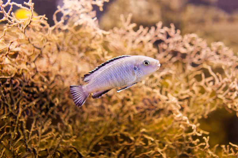 Blue African Cichlid from Lake Malawi. Bright aquarium fish. royalty free stock image