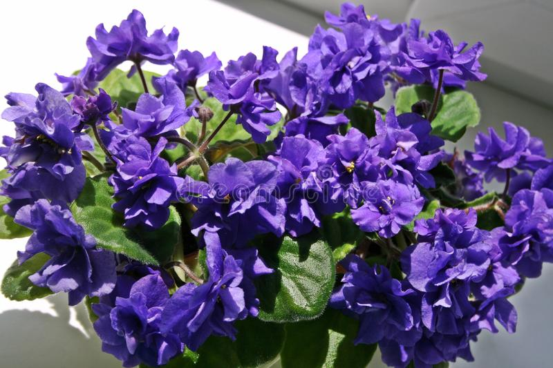 Blue African Violet. Lush bloom royalty free stock photography