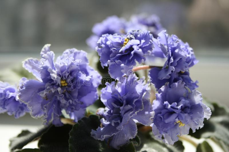Blue African Violet Ruffled Skies. stock photo