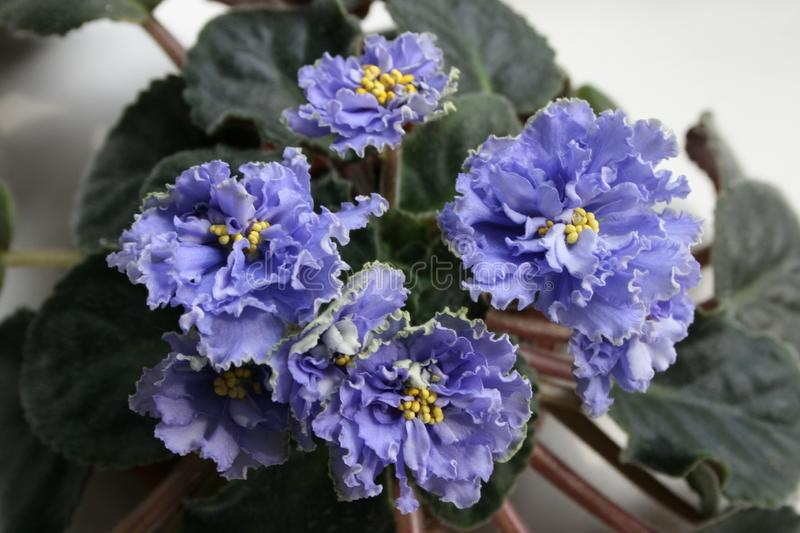 Blue African Violet Ruffled Skies. royalty free stock photo