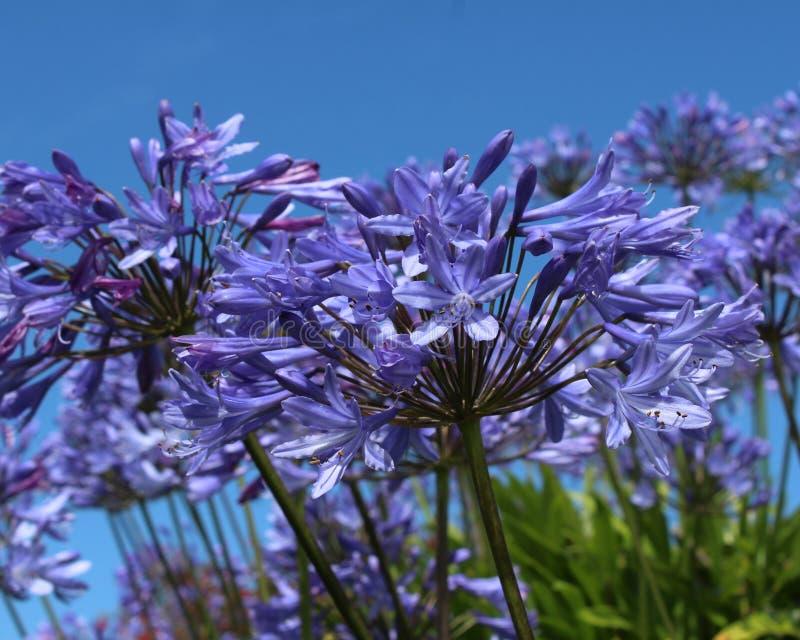 Blue Agapanthus royalty free stock photos