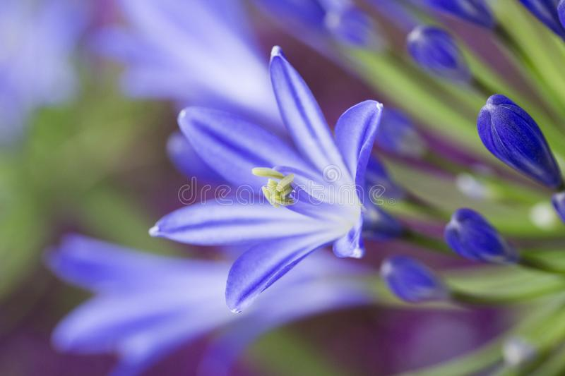 Blue Agapanthus Flower. Close-up image of a blue Agapanthus flower royalty free stock images