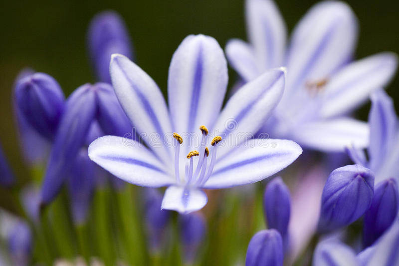 Blue Agapanthus Flower stock photos