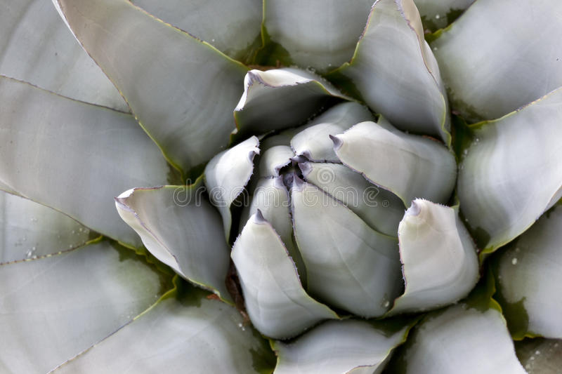 Blue Agave Closeup. Blue Agave (agave tequilana) closeup showing spikes and thorns royalty free stock images