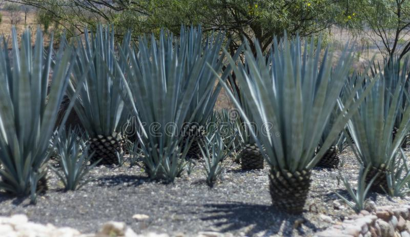 Field of blue agave in mexico. Blue agave field used to distill tequila in mexico stock image