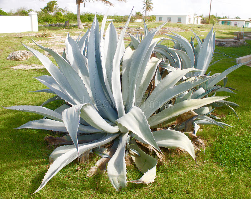 Download Blue Agave Plant stock photo. Image of sharp, cactus - 76621508