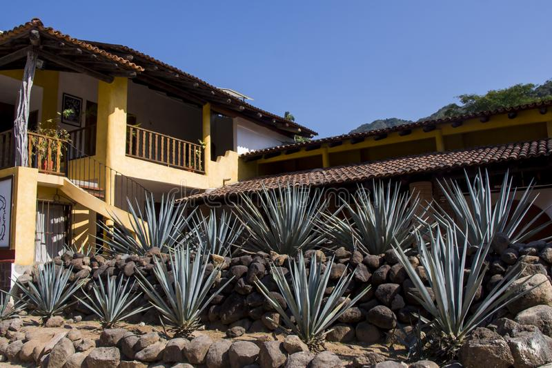 Tequila Factory with agave plants. Blue agave plants under a blue sky in a tequila factory in Jalisco Mexico royalty free stock images