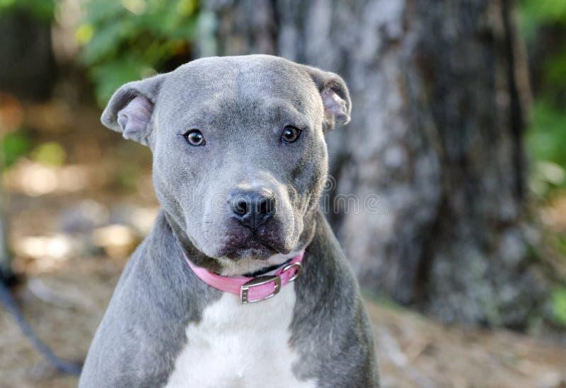 Blue American Pitbull Terrier Dog Stock Photo - Image of ... Bull Terrier Blue Nose Pitbull Mix