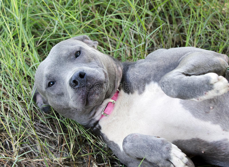 Blue American Pitbull Terrier dog laying on back. Female blue nose Blue and white American Pit bull Terrier dog mixed breed dog with pink collar laying down for stock photos