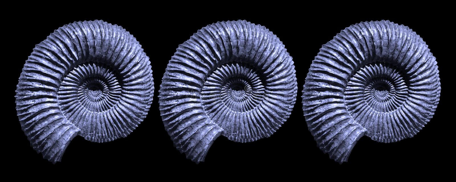 Blue Ammonite Fossils. Ammonite fossils form natural fractal patterns. Three petrified spiral fossils against a black background are a striking display of royalty free stock photos