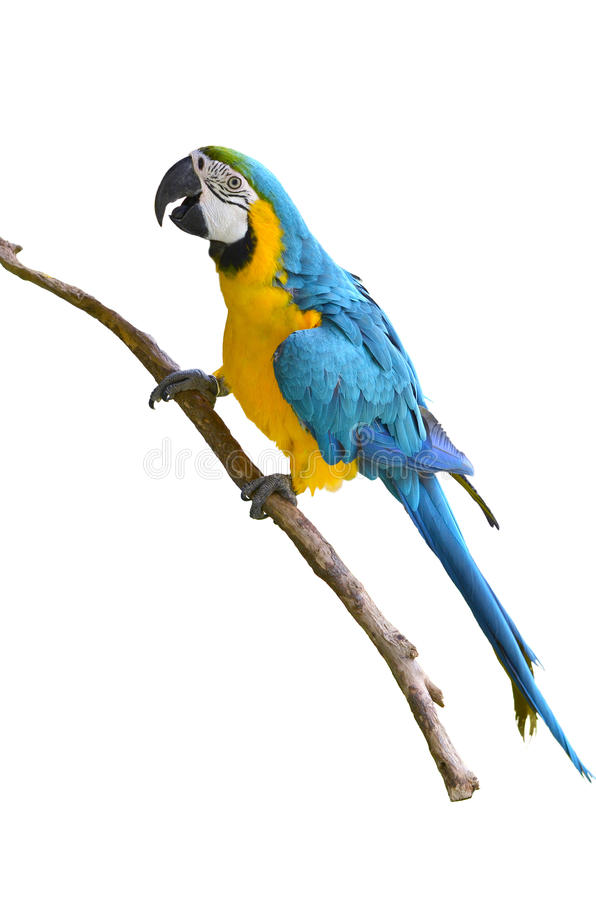 Free Blue And Yellow Macaw Royalty Free Stock Image - 39822836