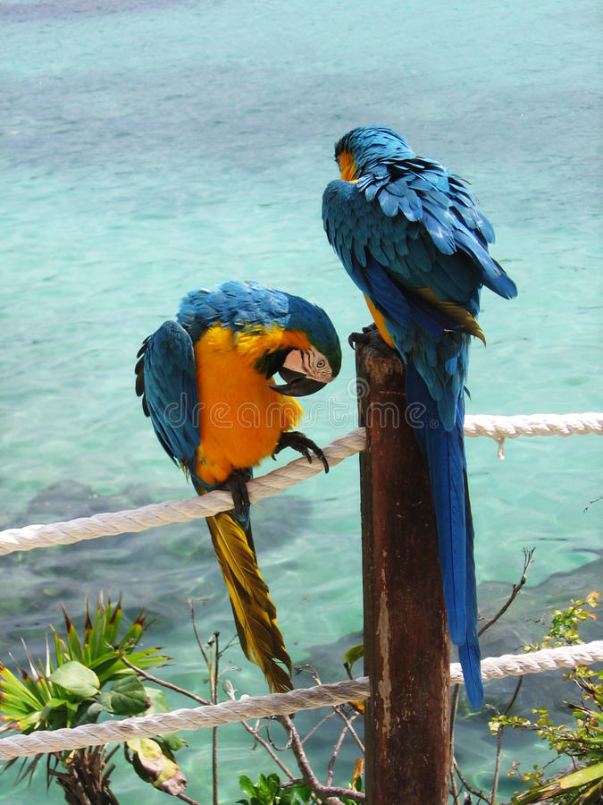 Free Blue And Yellow Parrots Stock Photos - 16562783