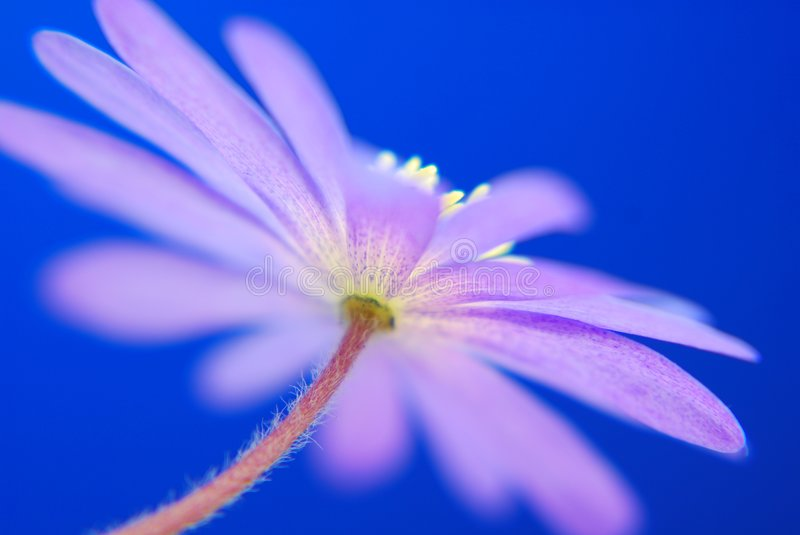 Blue anemone stock images