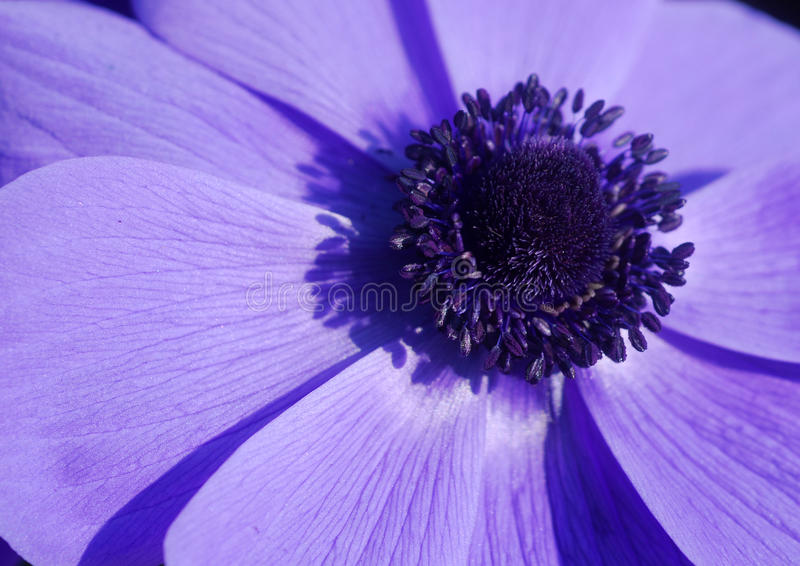 Blue Anemone flower stock photography