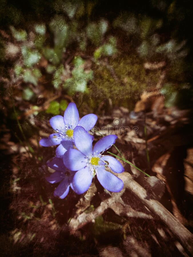 Blue anemones with blurred background royalty free stock photos