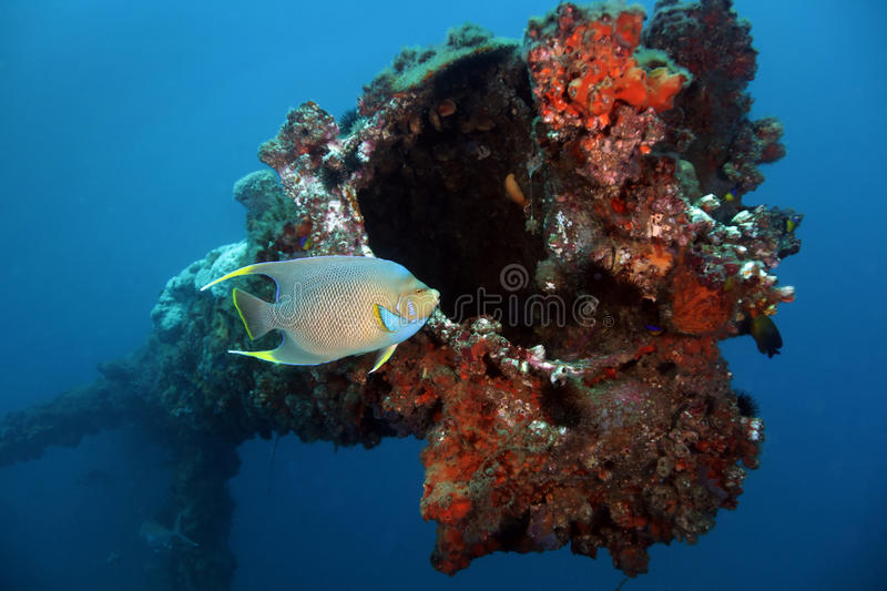 Blue Angelfish - Panama City Offshore. A Blueface Angelfish swims by an old oil rig stanchion cut off at 80 feet deep in the offshore waters of Panama City royalty free stock images