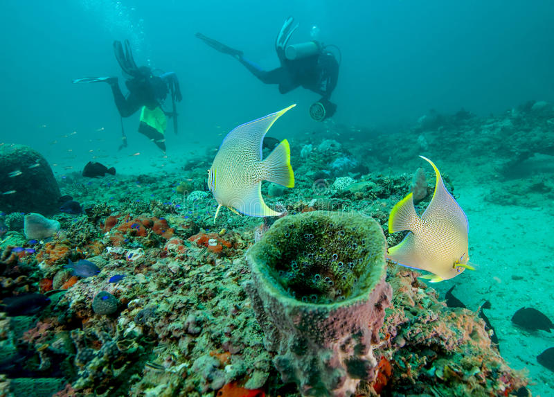 Blue Angelfish Watch Divers. A pair of Blue Angelfish appear to be watching the weird marine creatures (human scuba divers) swim away from the home sponge at a royalty free stock images