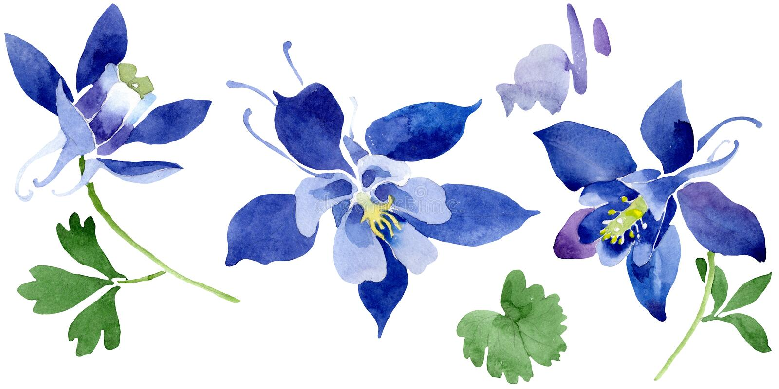 Blue aquilegia floral botanical flowers. Watercolor background set. Isolated aquileqia illustration element. vector illustration
