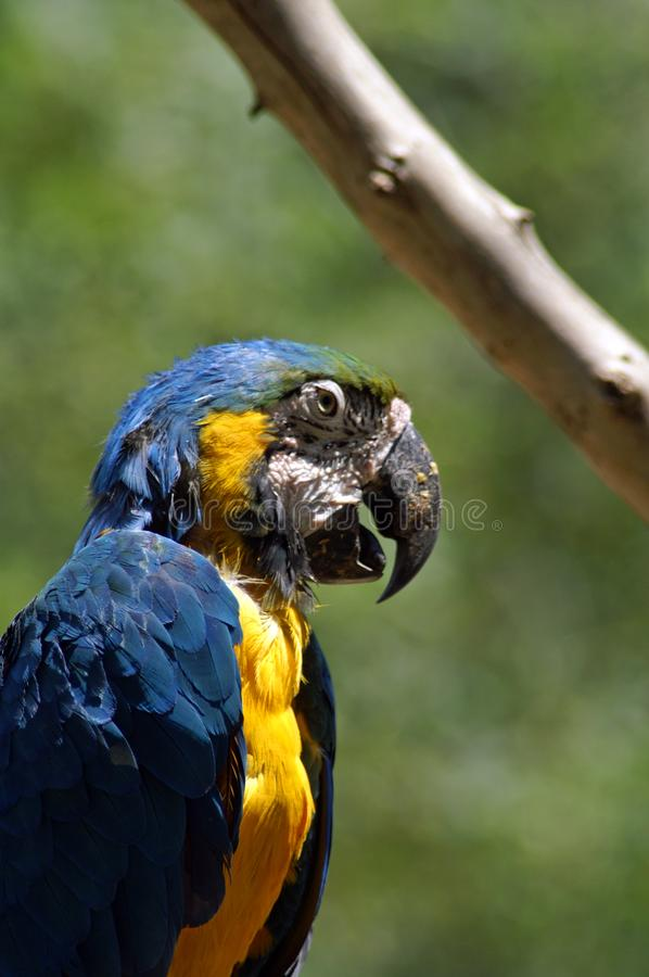 Blue ara. The Ara macaws are large striking parrots with long tails, long narrow wings and vividly coloured plumage. They all have a characteristic bare face royalty free stock photography