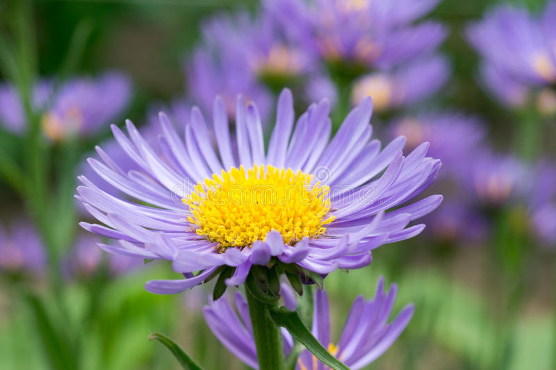 Blue Aster Royalty Free Stock Image