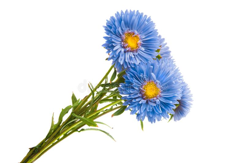 blue aster isolated royalty free stock photos