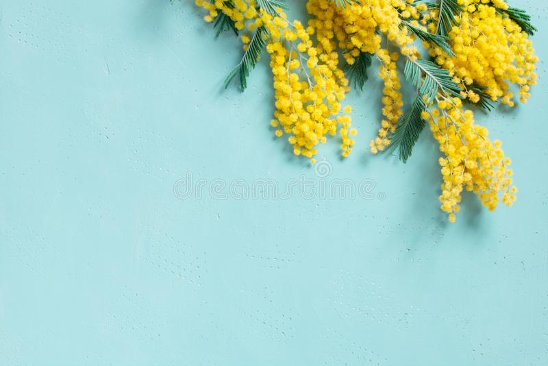 Blue background with mimosa branch for spring holidays stock image