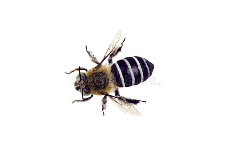 Blue Banded Bee royalty free stock photo