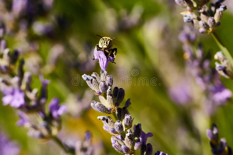Blue Banded Bee stock images